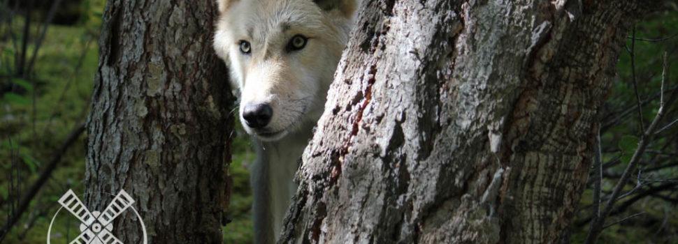 My wolf encounters