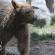 Meet the Spirit Bear – the rare blonde black bear of Canada's west coast