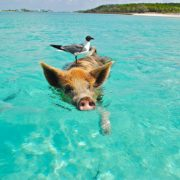 Did You Ever Swim With Pigs?